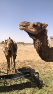 The cutest camels ever on property!